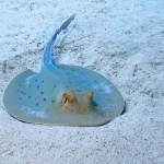 Blauwgespikkelde pijlstaartrog